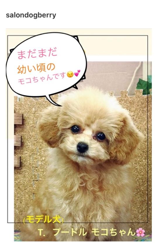 トイプードル アプリコット 子犬の画像
