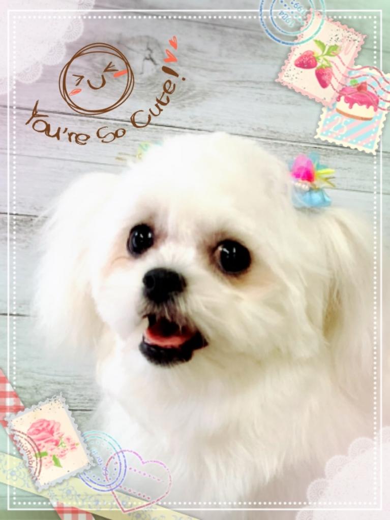ペキニーズ ビションフリーゼ ミックス犬のカットの画像