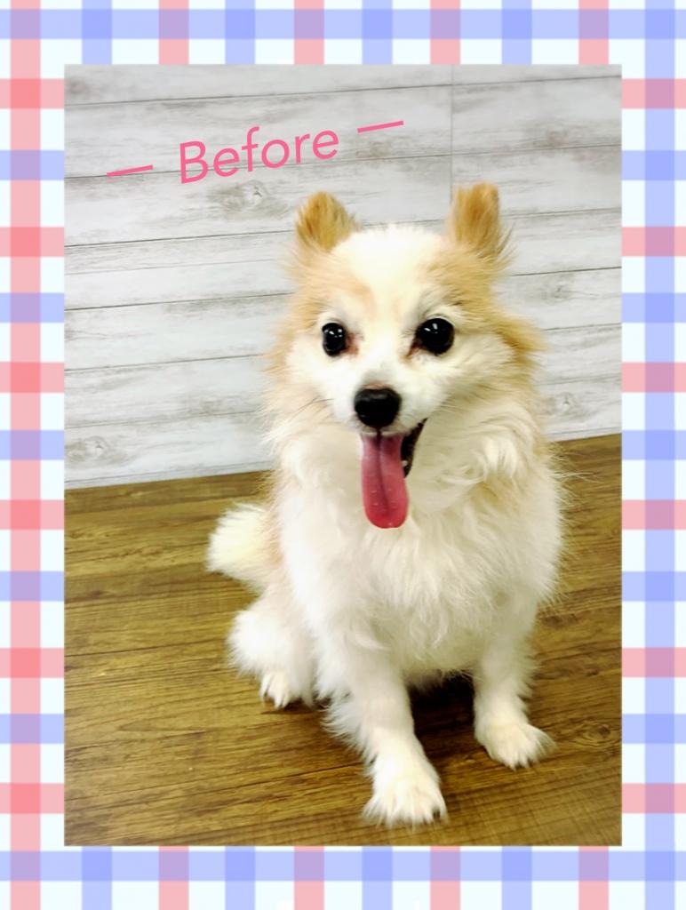 パピヨン ホワイト&レッド 犬 画像