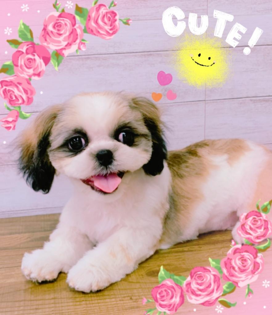 シーズー犬 サマーショートカット