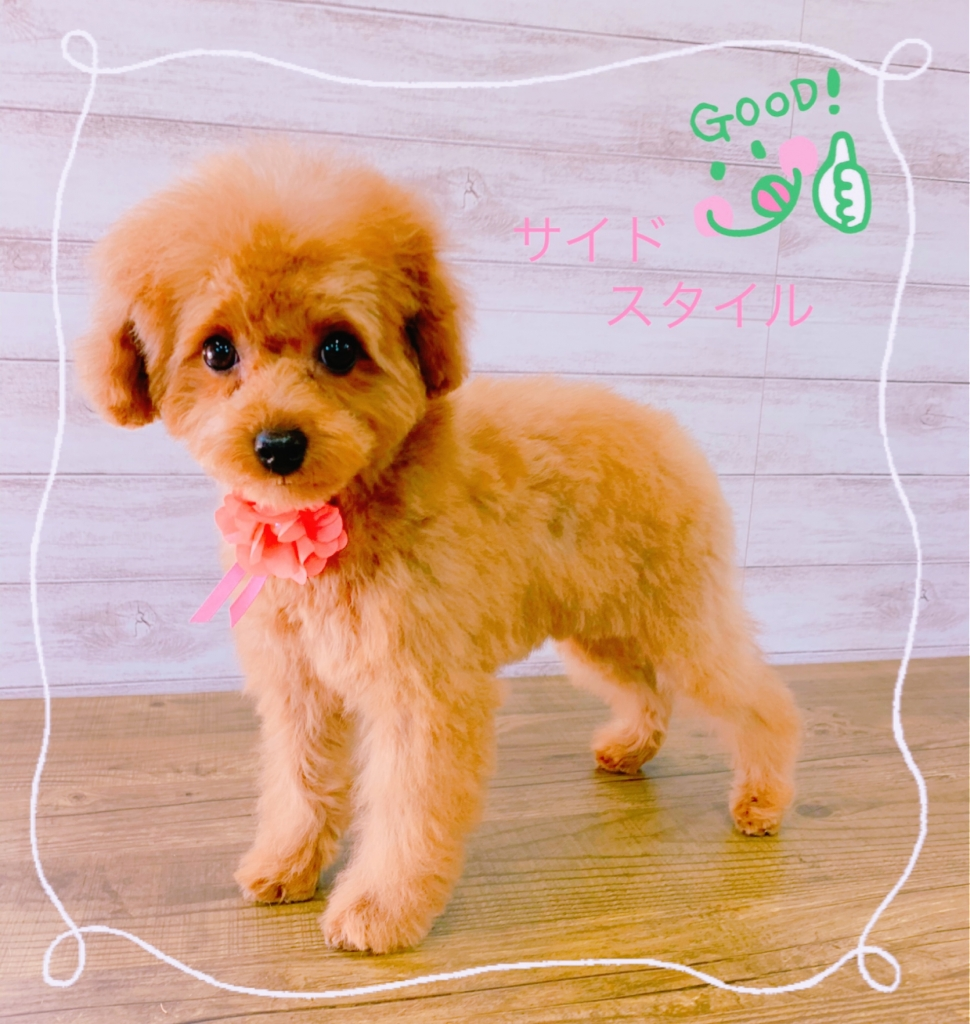 トイプードル ベビーカット 子犬