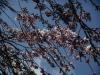 膨らむ枝垂れ桜