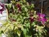テッセン花盛り