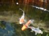 パブロフの金魚