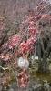 枝垂れ桜膨らむ