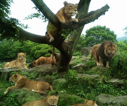 ライオンープライド