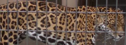 ジャガーの模様
