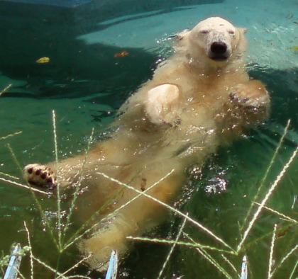 シロクマの背泳ぎ