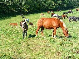 馬刺し・馬肉用の馬の蓄頭数