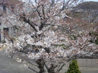 我が家の桜120407
