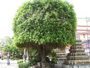 タイの不思議な木