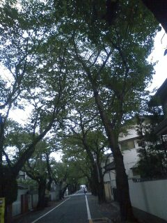 上北沢の街路樹