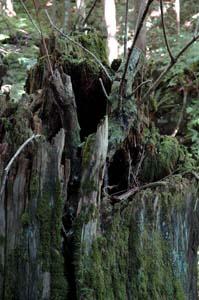 枯れ木からノリウツギ