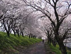 神戸町の桜