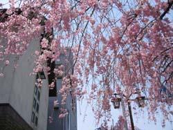稲葉神社参堂の桜