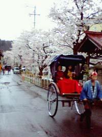 高山・宮川沿いの桜
