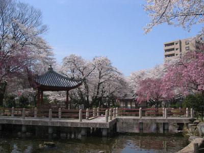 岐阜公園内の桜 日中友好公園