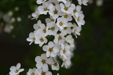 春の花/ユキヤナギ
