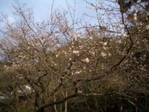 佐渡の寒桜
