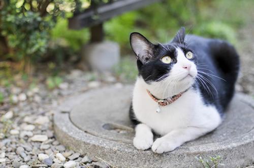 猫の首輪 シャビくん