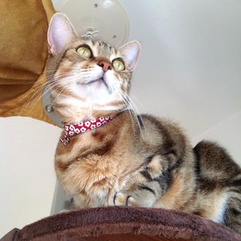 猫の首輪 お客様からの写真