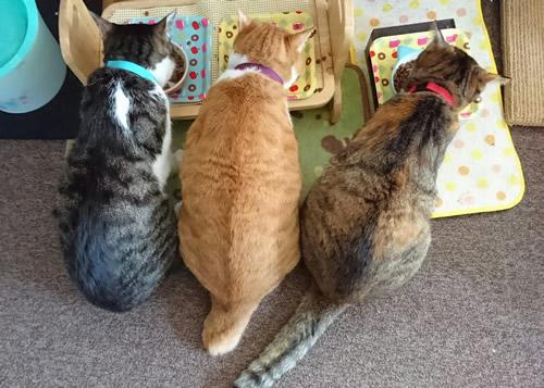 猫首輪 お客様からの写真
