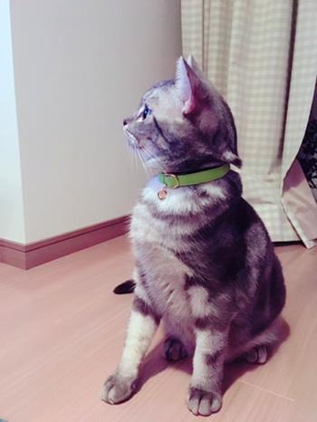 横から見たチャーム付きの黄緑色の首輪をした猫