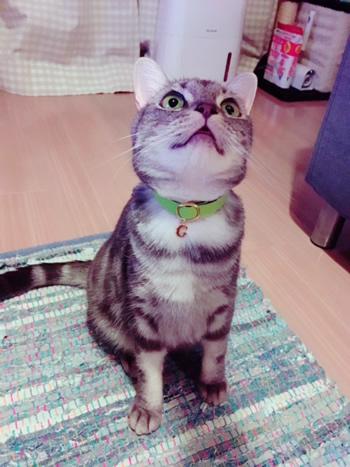 正面から見たチャーム付きの黄緑色の首輪をした猫