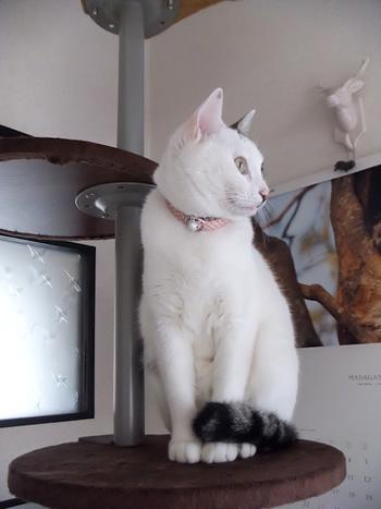 ピンクの和柄の首輪をつけた白猫
