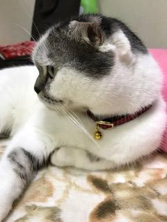 赤いチェックの首輪をした猫