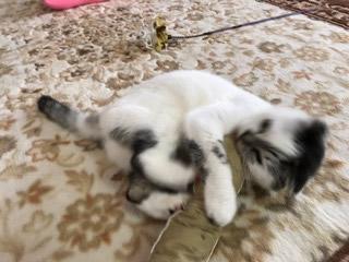 キャットニップキッカーで遊ぶ白黒猫