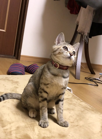 斜め上から見た赤いタータンチェックの子猫用首輪をつける子猫