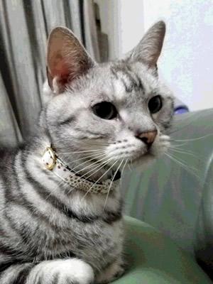 白いクリスマス首輪をつけるグレーの猫