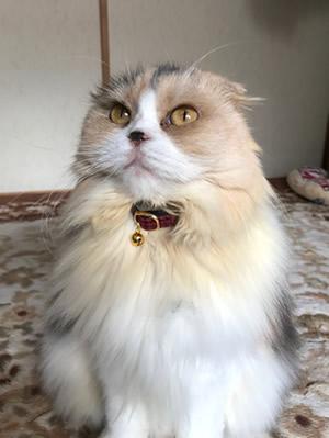赤いチェックの首輪をつけた長毛の猫さん
