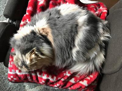 長毛の大きな猫ちゃん