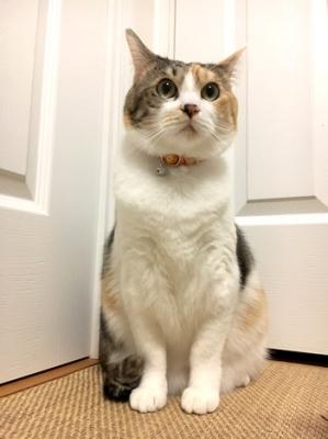 正面から見たオレンジの花柄の首輪をした三毛猫さん