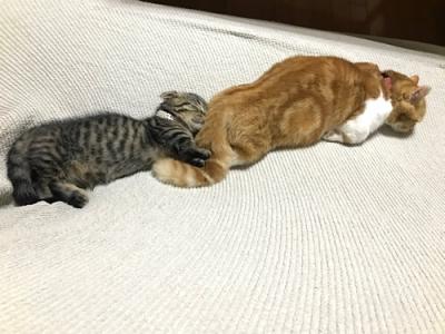 先住猫にまとわりつく子猫