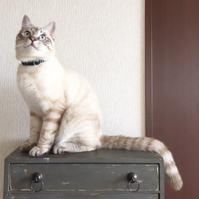 タータンチェックの首輪をつけた白い猫
