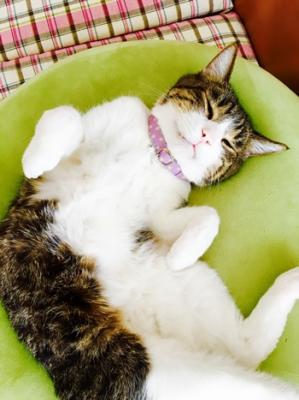 水玉の首輪をしてごろんしているキジトラの猫ちゃん