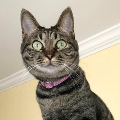 ピンクのツイード柄の首輪をつけた猫ちゃん