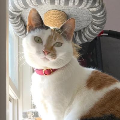桜色の和風の首輪をつけた三毛猫ちゃん