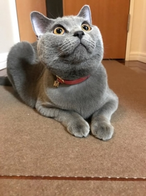 チャーム付きの桜色の首輪をして座っている猫ちゃん