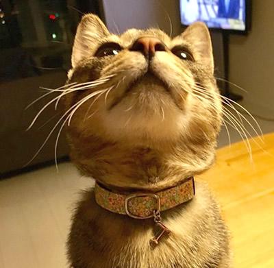 黄色の花柄の首輪をした猫