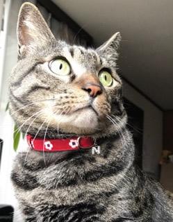和風の赤い首輪をしている猫