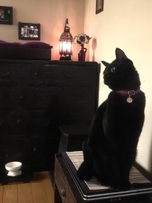 紫色の首輪をした黒猫