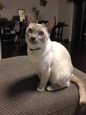 青い首輪をするシャム猫さん