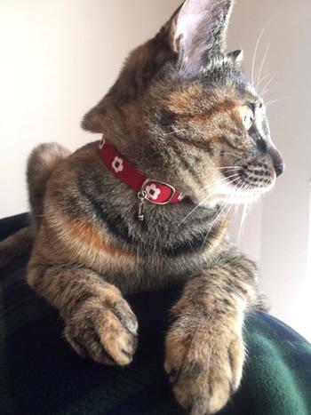 和風の花柄の首輪をするサビ猫さん