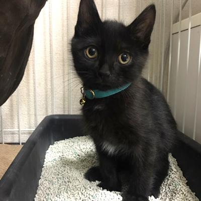 水色の首輪をした黒猫の子猫