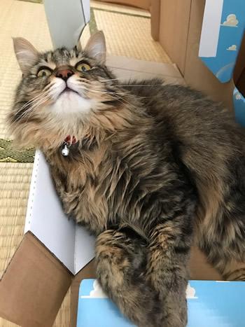 赤い水玉の首輪をした長毛の猫