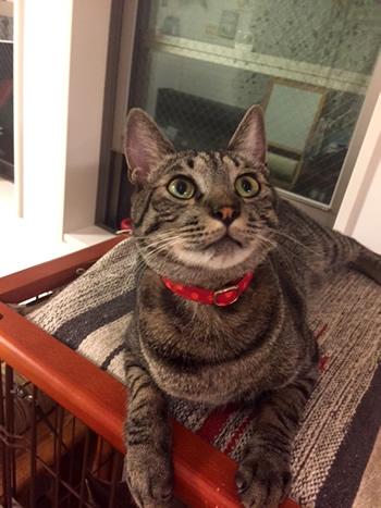 赤い首輪をしたキジトラの猫
